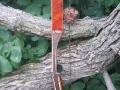 peregrine-cocobolo-limb