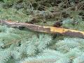 slynx-myrtleburl-limb